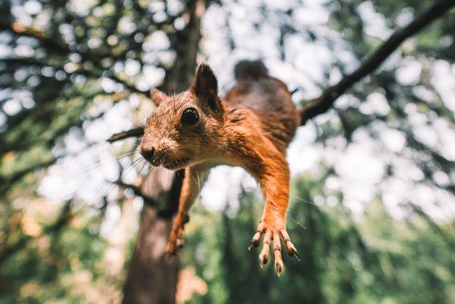 Eichhörnchen springt vom Baum