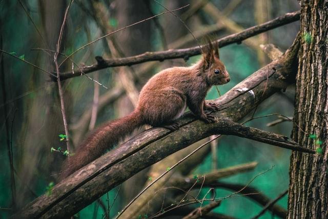 Das Europäische Eichhörnchen