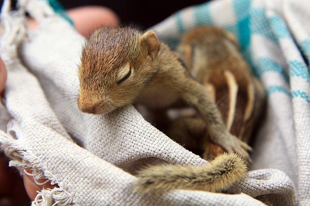 Baby-Eichhörnchen in Decke