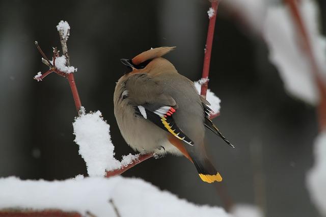 Der Seidenschwanz im Winter