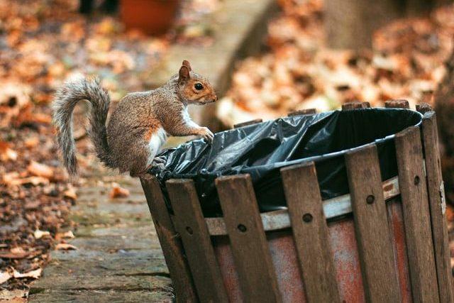 Eichhörnchen sucht im Müll nach Futter