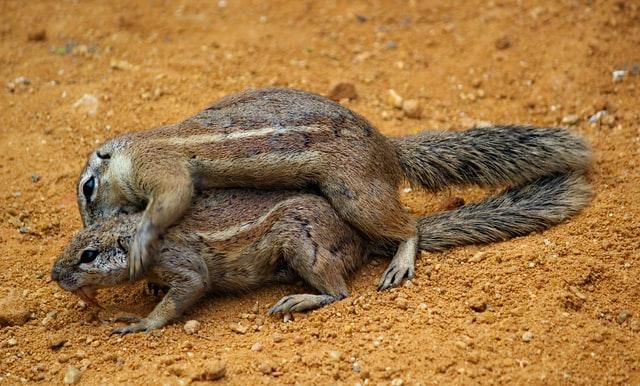 Eichhörnchen bei der Paarung