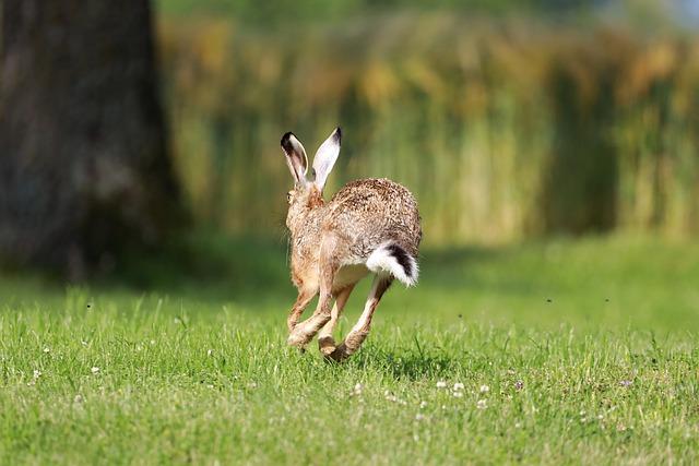 Wilder Hase in Bewegung