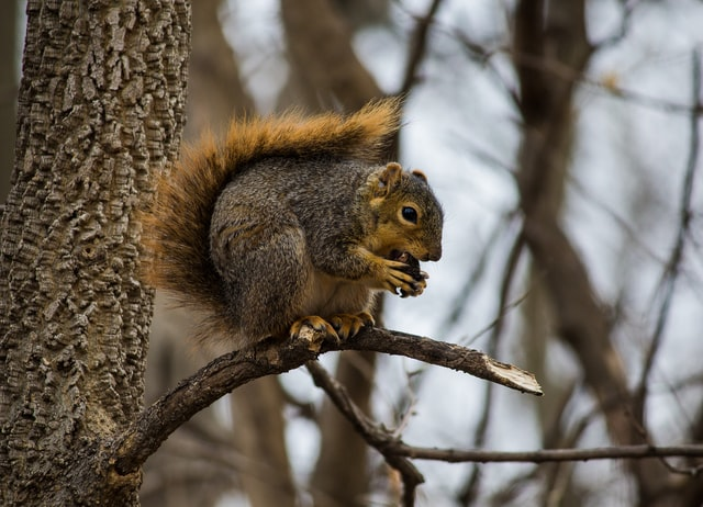 Das Fuchshörnchen