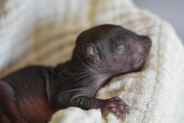 Eichhörnchen-Säugling