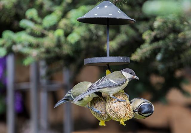 Vögel fressen Maisenknödel