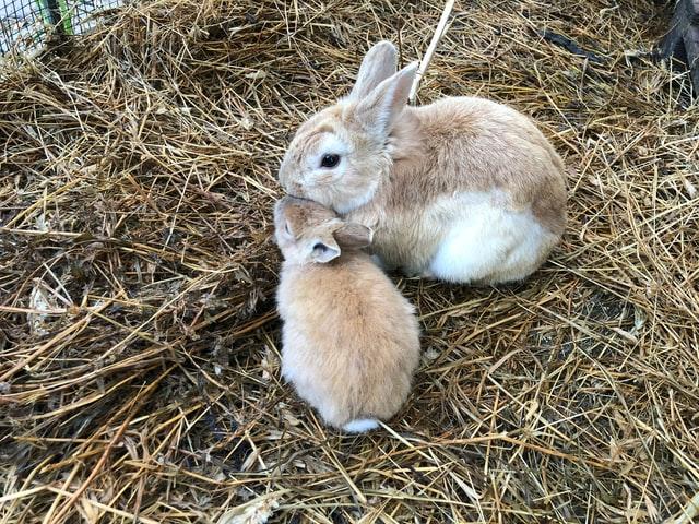 Hasenbaby mit Mutter