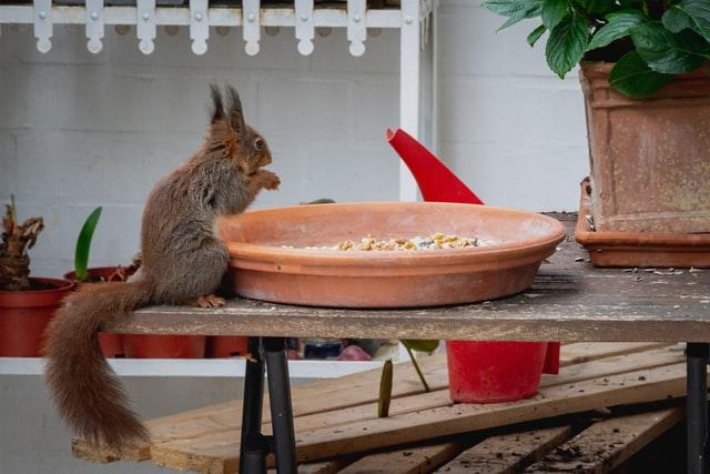 Eichhörnchen an einer Futterschale
