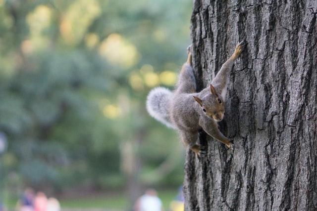 Eichhörnchen klettert am Baum