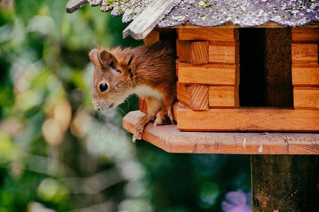 Eichhörnchen im Nisthaus