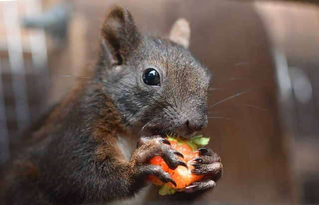 Eichhörnchen frisst Erdbeere