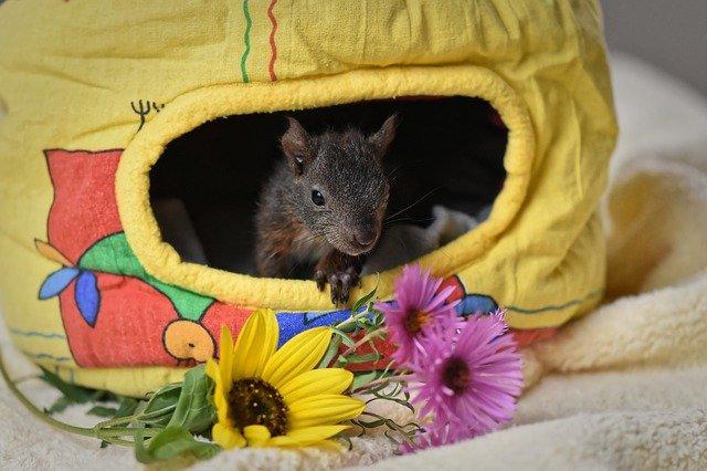 Eichhörnchen im selbst gebautem Nest