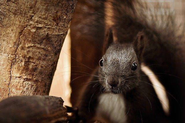Eichhörnchen im Kobel