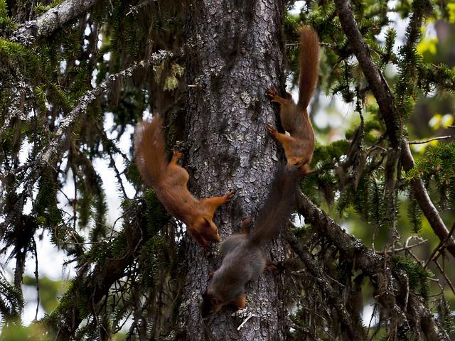 Eichhörnchen beim Spielen