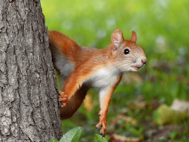 Eichhörnchen erkundet seine Umgebung