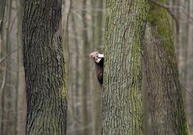 Mauswiesel auf einem Baum