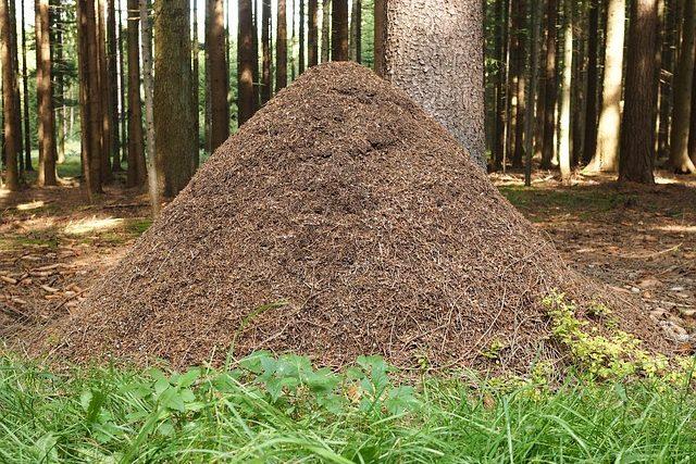 Großer Ameisenhaufen im Wald