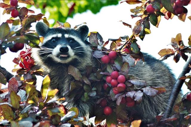 Waschbär auf Baum