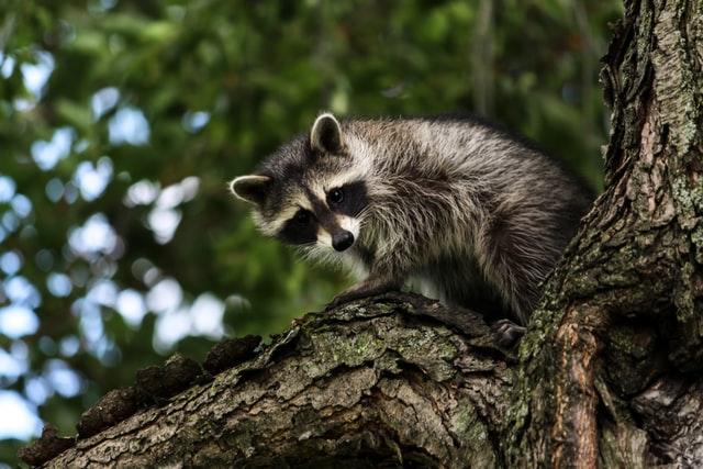 Junger Waschbär sitzt auf Baumstamm