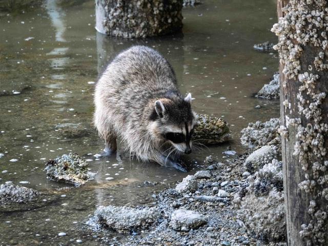 Waschär auf der Suche nach Futter im Wasser
