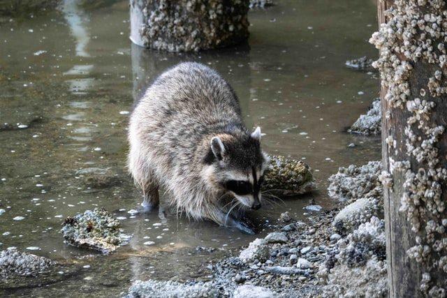 Waschbär sucht im Wasser nach Nahrung