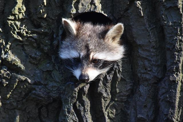 Waschbär schaut aus Baumhöhle