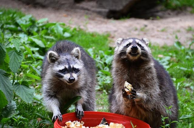 Waschbären beim fressen