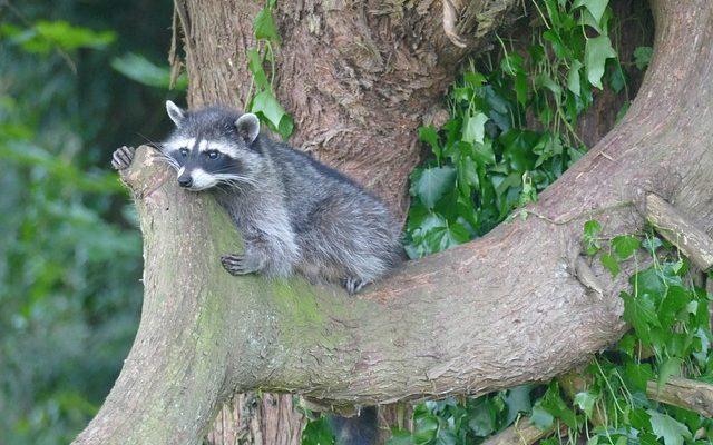 Junger Waschbär auf Baum