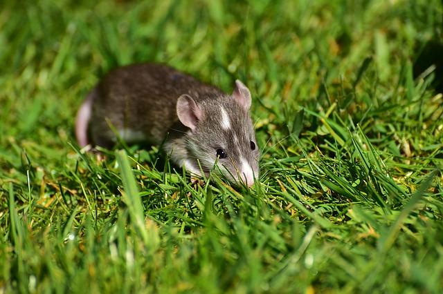 Ratte auf Wiese