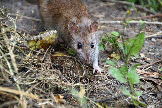 Ratte in der Natur