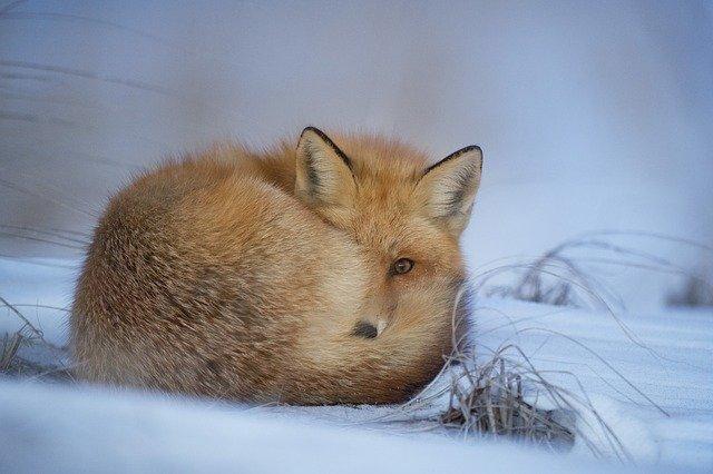 Fuchs liegt im Schnee