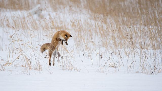 Fuchs jagd Maus