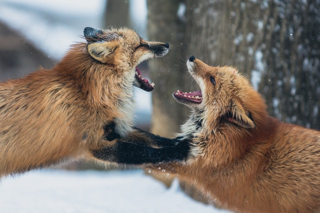 Füchse beim Kampf