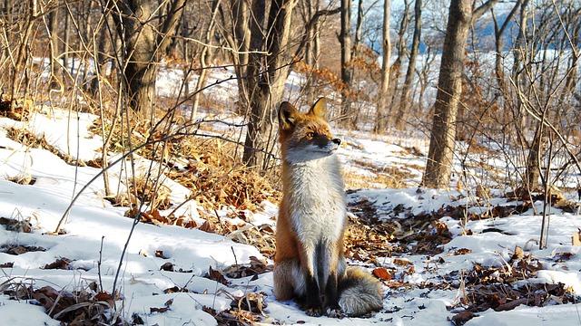 Fuchs sitzt im Schnee