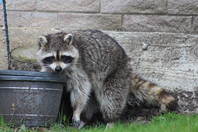 Waschbär sucht Essen