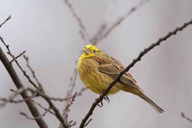 Das Bild zeigt eine männliche Goldammer und wie ihr sehen könnt, ist der Vogel ein wunderschöner gelber Farbtupfer. Bis auf den Rücken und die Flügel strahlt er in einem kräftigen goldenen Gelb und stellt eine Bereicherung für jeden Garten dar, sowohl im Sommer als auch im Winter. Das Weibchen hingegen ist an Kopf und Unterseite stärker gestrichelt und die Farbe geht generell eher ins grünlich gelbe. Dunkle Augen mit weißen Augenringen haben jedoch beide.  Die Goldammer gehört ebenfalls zu den heimischen Singvögeln und hat einen hohen lieblichen Gesang. und ist in fast ganz Europa Zuhause. gehört zur Familie der Ammern und zu unseren heimischen Vögeln (Sperlingsvögel) im Sommer wie im Winter.  Die Goldammer hat eine Größe von 16 bis 17 cm, wobei das Weibchen etwas schwerer ist als das Männchen.