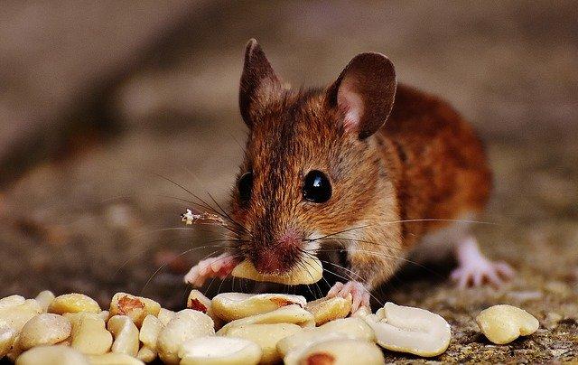 Maus frisst Nüsse