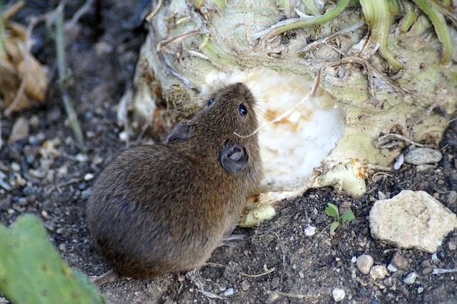 Maus frisst im Gemüsebeet