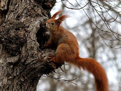 Eichhörnchen an einer Baumhöhle