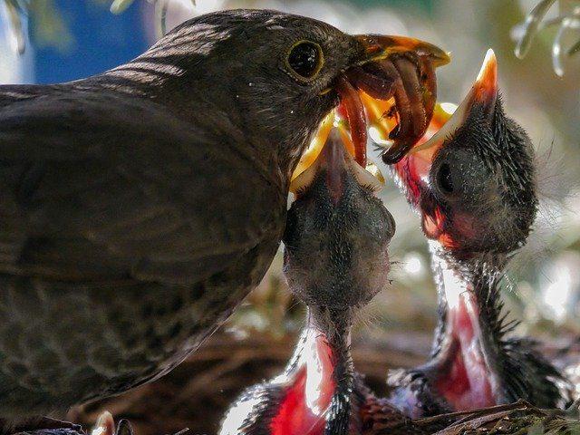 Vogel füttert Küken