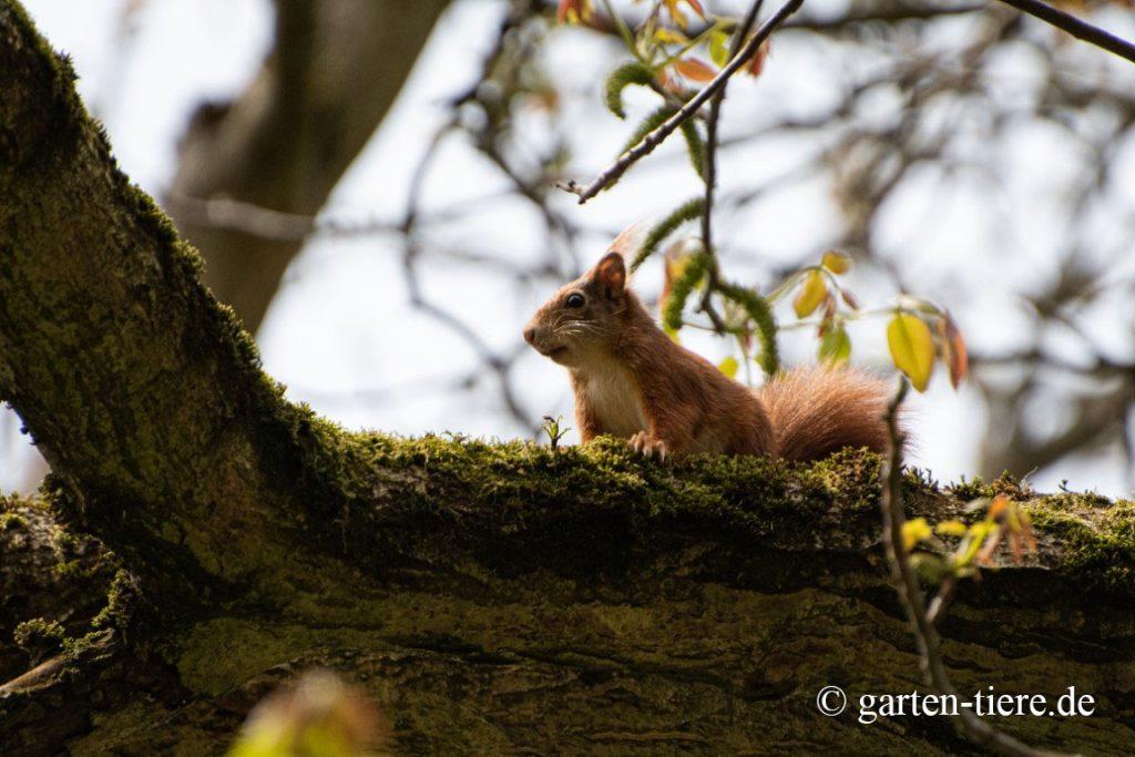 Eichhörnchen auf Baum 2