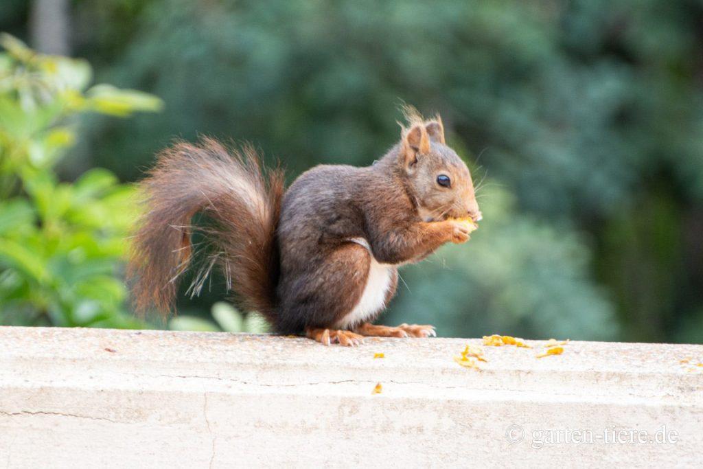 Eichhörnchen am essen