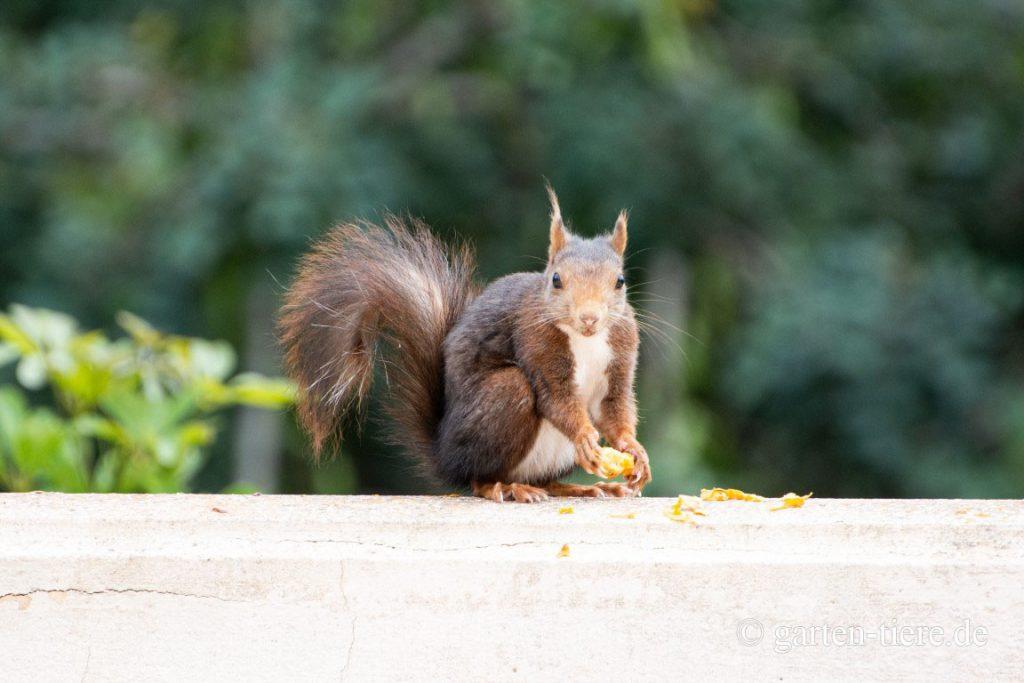 Eichhörnchen am Essen 2